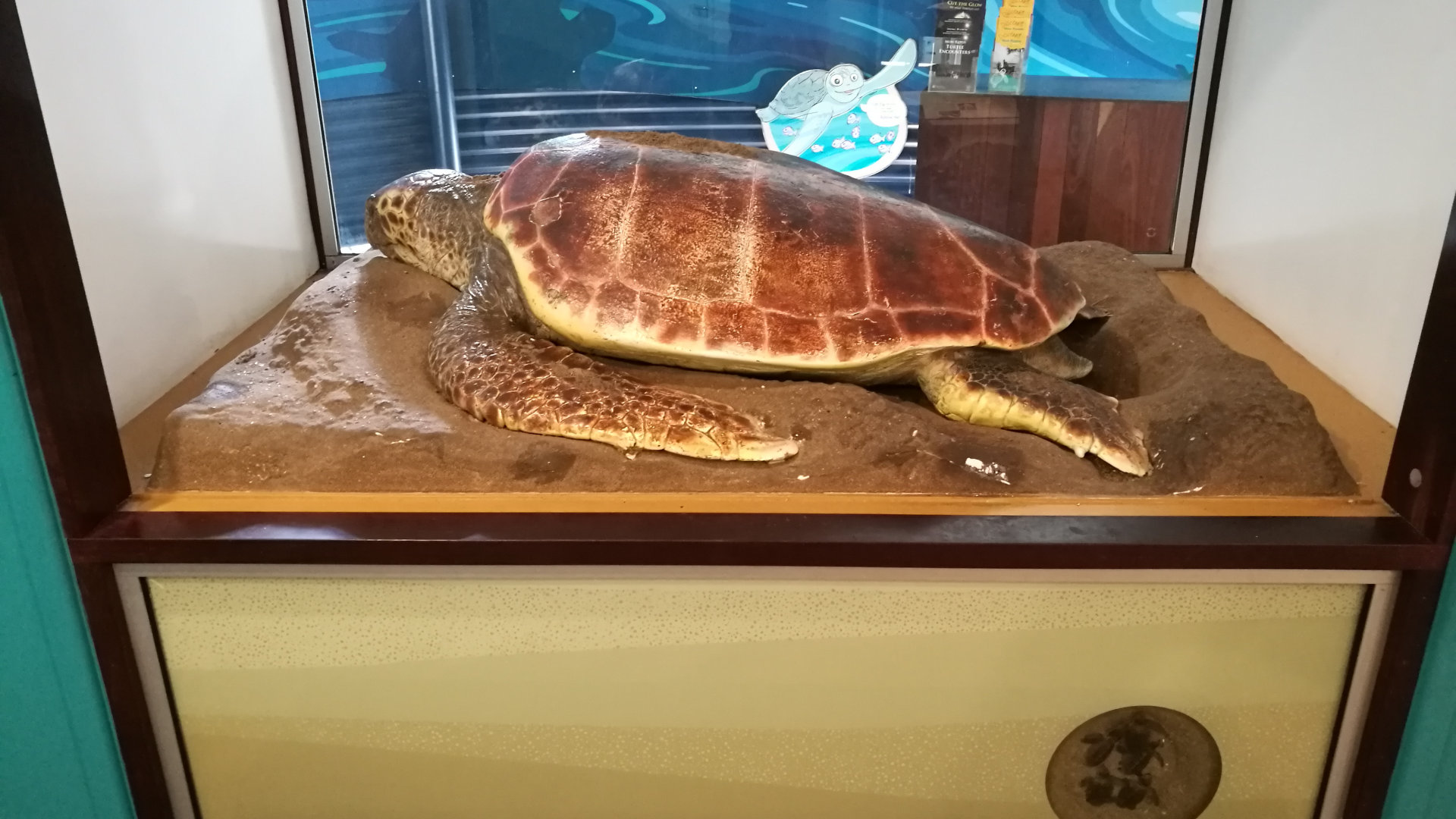 Model of a sea turtle in the Mon Repos Turtle Centre at Mon Repos Regional Park, on the coast between Bargara and Burnett Heads