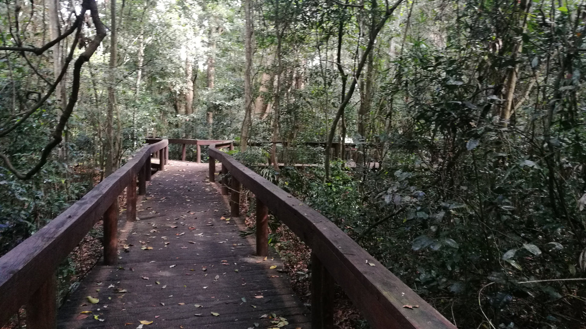 Boardwalk through the scrub vine forest at the Fig Tree Walk near Kenilworth, a riverine rainforest at the junction of Little Yabba Creek and Mary River. The walk is an easy 1.1km circuit, displaying Moreton Bay Figs and Giant Stinging Trees.