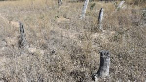 Dry grassy field with dead tree stumps, possibly used as foundations for the Anyarro Provisional School