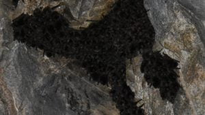 Colony of microbats huddled together on a rock wall, inside Boolboonda Tunnel near Gin Gin
