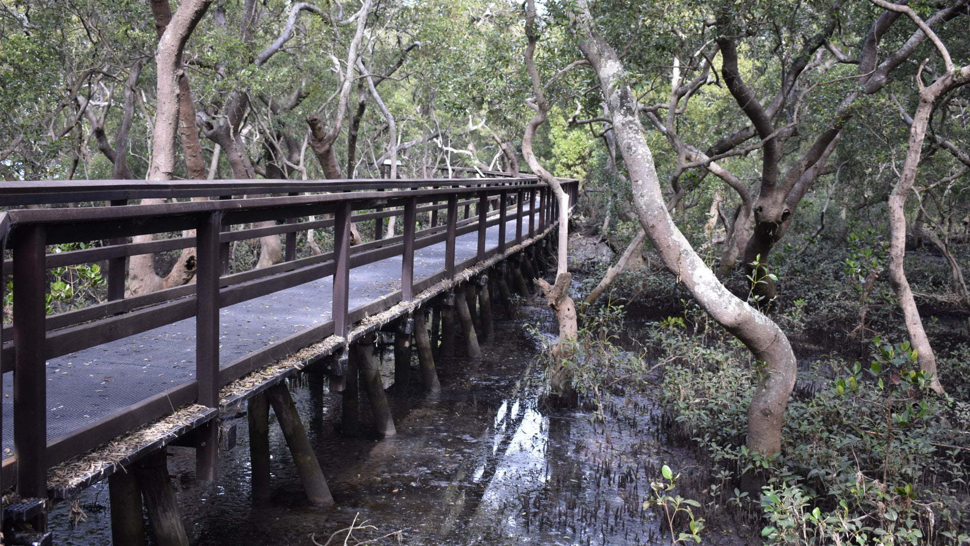 Mangrove Boardwalk through the mangroves, located on the foreshore of Moreton Bay at Wynnum, from Elanora Park and continues to a bird hide overlooking tidal saltmarshes