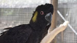 Black Cockatoo, at the Flying High Bird Sanctuary