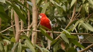 Red Rosella, at Flying High Bird Sanctuary