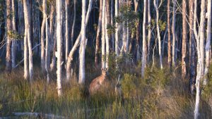 Edge of tree forest with a kangaroo, on the inland track of Bribie Island