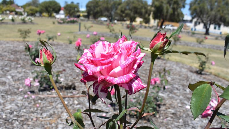 Candy Stripe Rose, at the Elizabeth Park Rose Gardens in Maryborough
