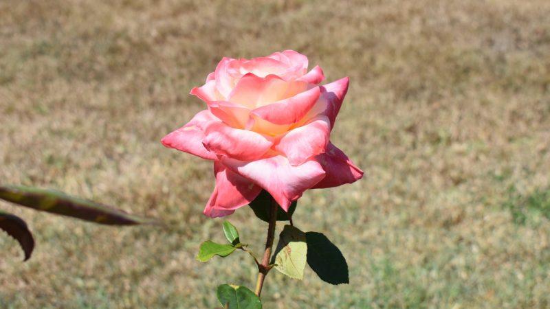 Diana Princess Of Wales Rose, at the Elizabeth Park Rose Gardens in Maryborough