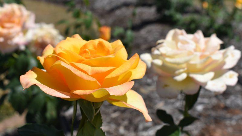 Gold Medal Rose, at the Elizabeth Park Rose Gardens in Maryborough