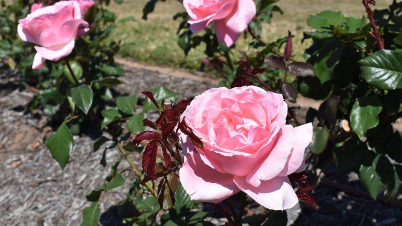Queen Elizabeth Rose, at the Elizabeth Park Rose Gardens in Maryborough