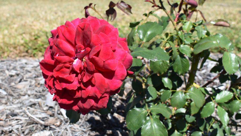Red Roundelay Rose, at the Elizabeth Park Rose Gardens in Maryborough