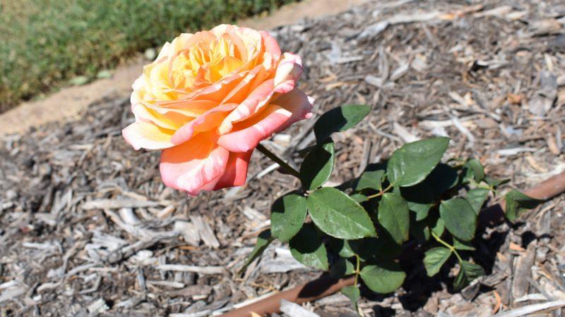 Tropical Sunset Rose, at the Elizabeth Park Rose Gardens in Maryborough