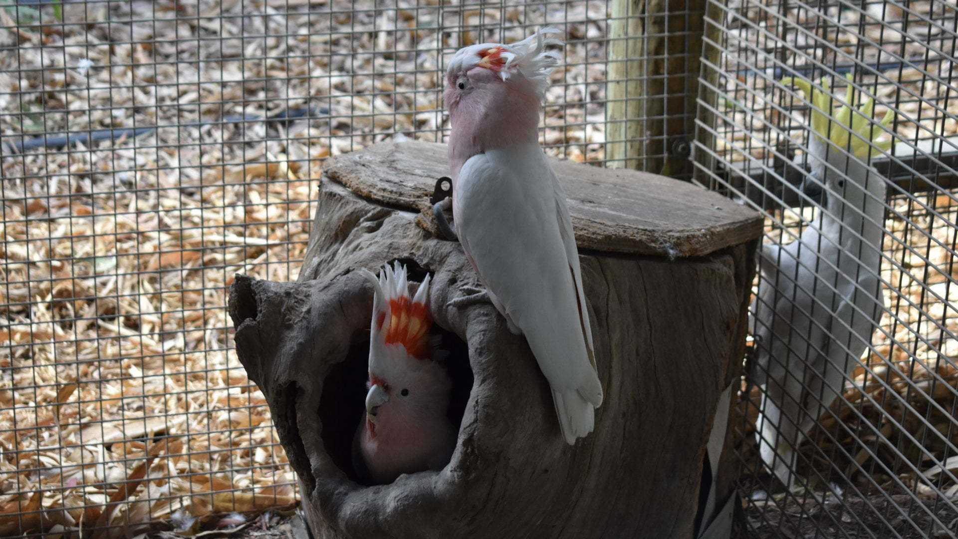 Pair of Major Mitchell cockatoo birds on a stump, one of them inside a hollow, taken at the Flying High Bird Sanctuary at Apple Tree Creek