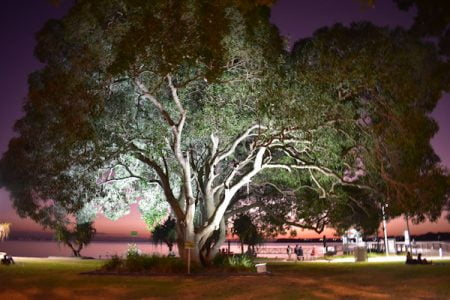 Large tree on the grass area at Bongaree Jetty on Bribie Island
