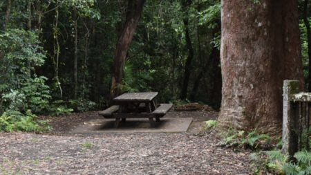 Picnic table next to a Blackbutt tree, at the Blackbutt Lookout in Border Ranges National Park