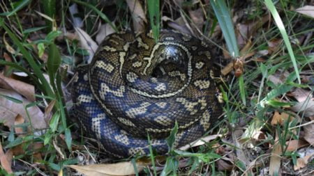 Python coiled up for a snooze on the size of the track