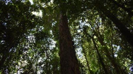 Red Cedar tree on the Red Cedar Loop walk, Brindle Creek Picnic Area, Border Ranges National Park