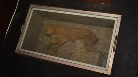 Moggy, the mummified cat found under the floorboards of Glengallan Homestead