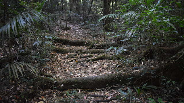 Rainforest walking track with tree roots growing across the track, on the Murray Scrub Walk in Toonumbar National Park