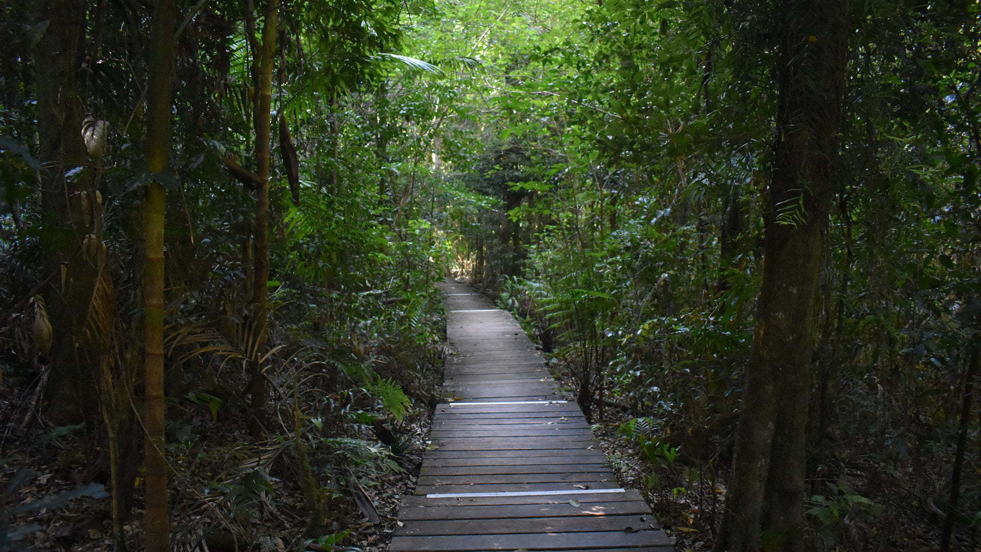 Walking track through subtropical rainforest, along the Greenes Falls Track in Maiala of D'Aguilar National Park