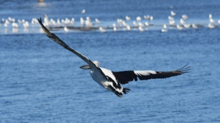 Pelican in flight over water, flock of seagulls on the water in the background, taken from Baxters Jetty in Shorncliffe