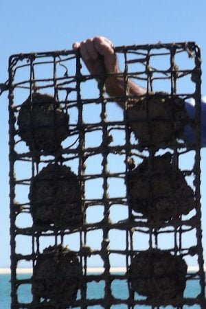 Rack of oysters from an oyster farm at Willie Creek