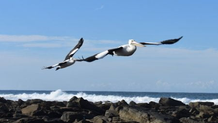 Pelicans flying over ocean rocks, taken at Woody Head in Bundjalung National Park