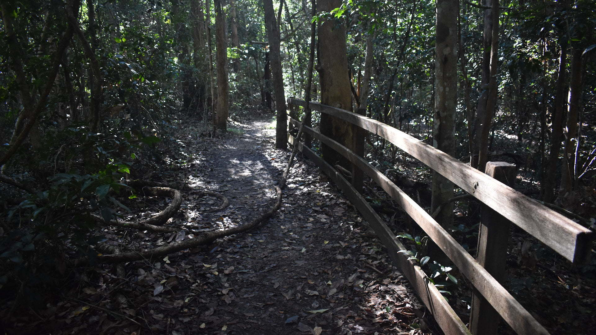 Walking path in a rainforest, with a thick vine laying across the ground and wooden handrail on the side, taken along the walk at Iluka World Heritage Rainforest
