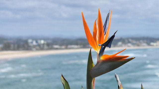 Flower taken from Kirra Point looking over Kirra Beach