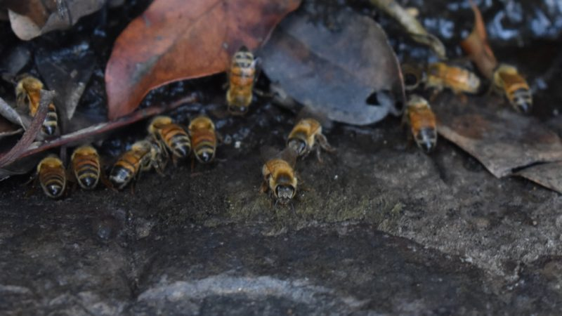 Bees rehydrating at the Cougal Cascades in Mt Cougal National Park