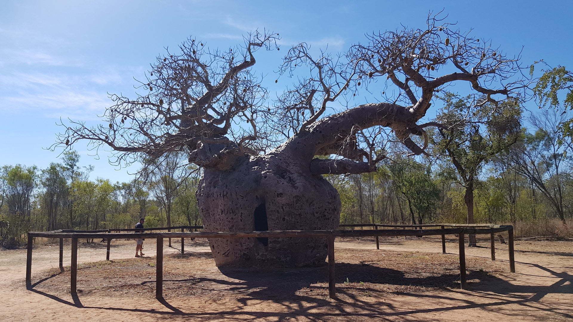 Prison BOAB Tree in Western Australia