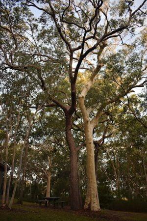 Eucalypt trees in the Ben Bennett Bushland Park in Caloundra