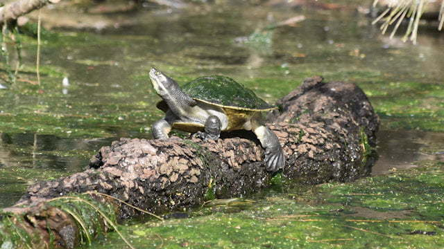 Turtle sunning itself on a log in Lake Alford, located at the Visitor Information Centre in Gympie