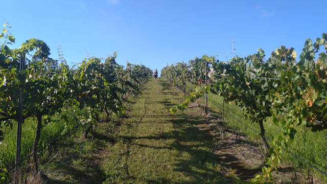 grass strip between rows of grape vines on a vineyard
