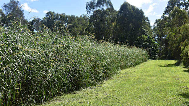 Grass track along a cane field