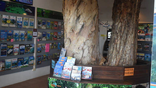 Melaleuca tree growing inside the Palm Cove Visitor Information Centre through the roof